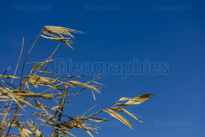Yellow dry bamboo reeds