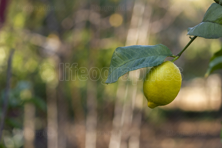 Yellow lemon with a leaf on the tree