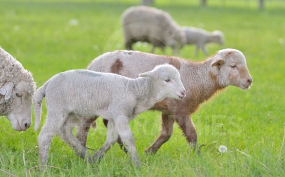 Young lambs and sheep in spring time