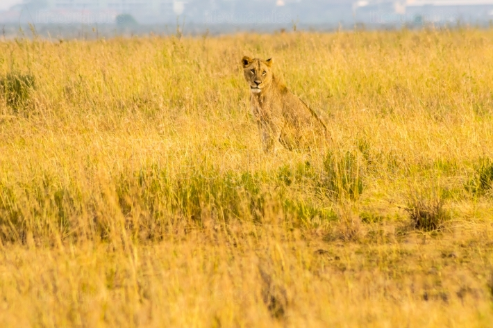 Young lion and lionesses in the savannah of Nairobi Park