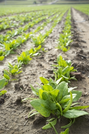 Young spinach plants at farmland