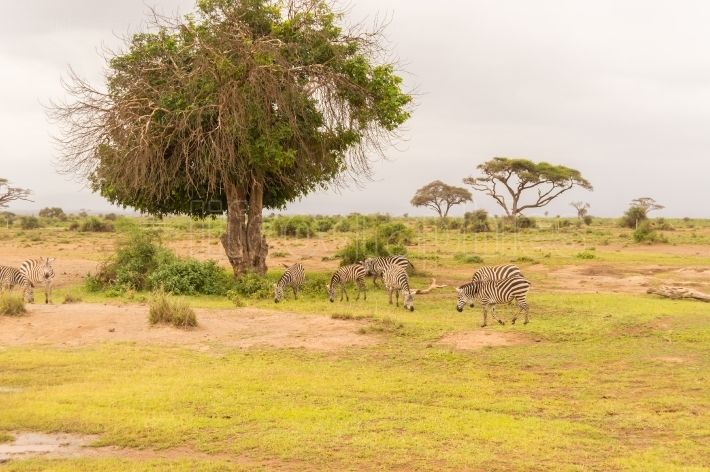 Zebra grazing in the savannah of Amboseli Park